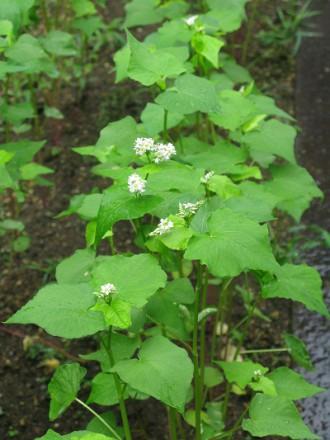 IMG_2739そばの花